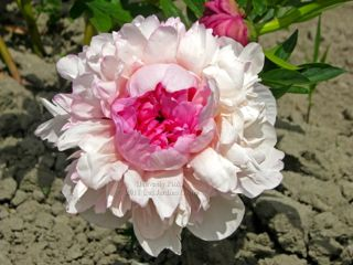 Pivoine Heavenly Pink
