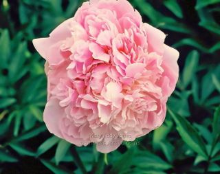 Pivoine Mary Eddy Jones