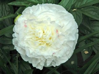 Pivoine Mother's Choice