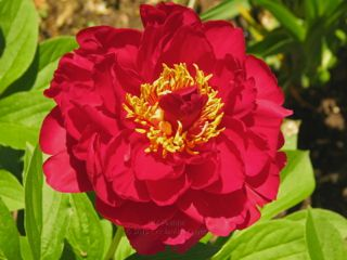 Pivoine Old Faithful