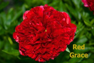 Pivoine Red Grace