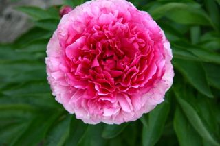 Pivoine Rose Heart
