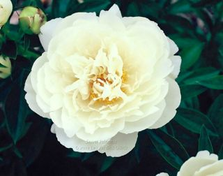 Pivoine Snow Princess