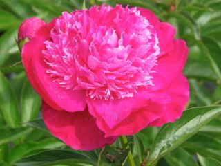 Pivoine Ursa Minor