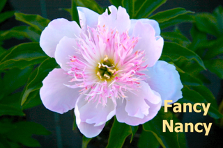 Pivoine Fancy Nancy