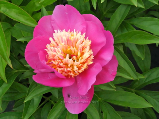 Pivoine Sweet Shelly