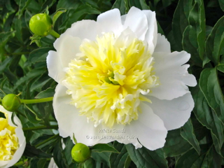 Pivoine White Sands