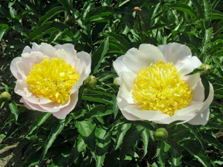 Pivoine Yellow King